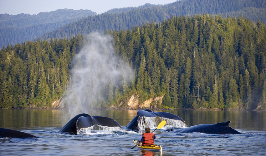 Kayak with whales in Alaska