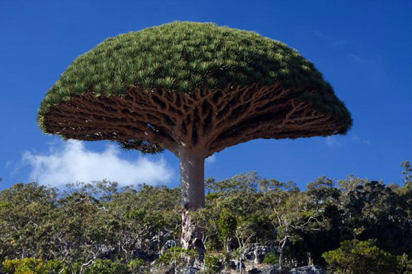 The-dragons-blood-tree-a-natural-umbrella-2 (3)