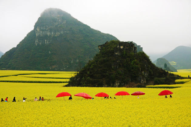 Canola Flower Fields China (10)
