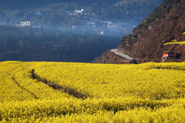 Canola Flower Fields China (14)