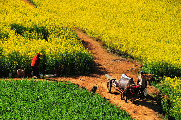 Canola Flower Fields China (15)