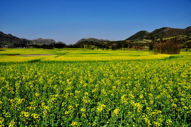 Canola Flower Fields China (16)