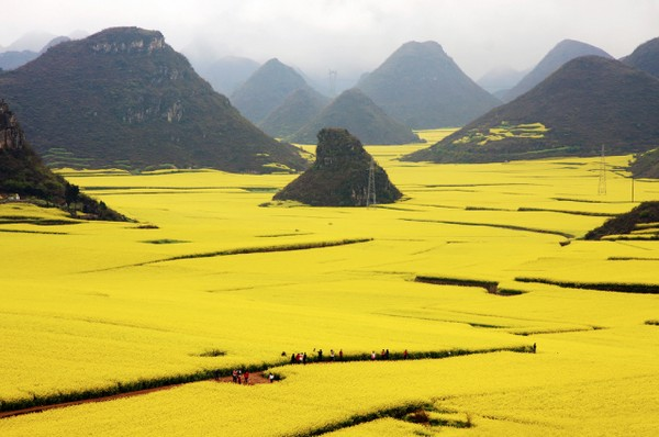 Canola Flower Fields China (4)