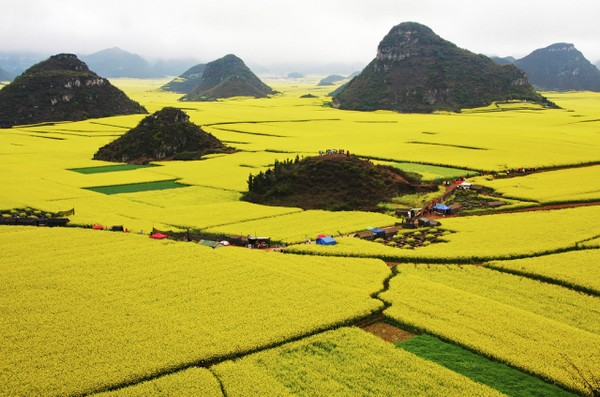 Canola Flower Fields China (5)