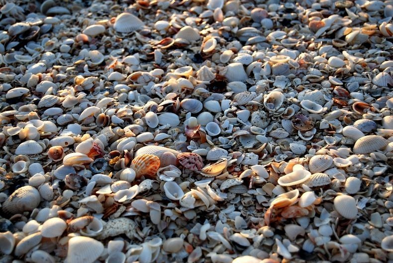 sanibel-shell