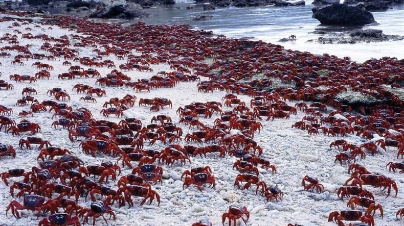 red-crab-migration-10[2]