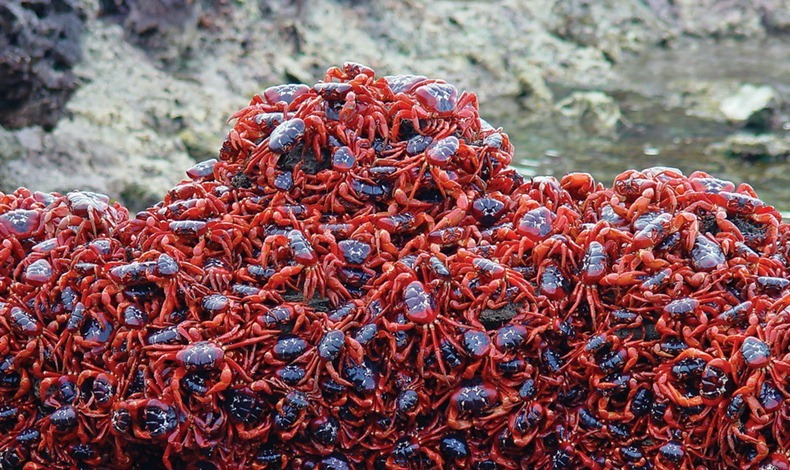 red-crab-migration-11[2]