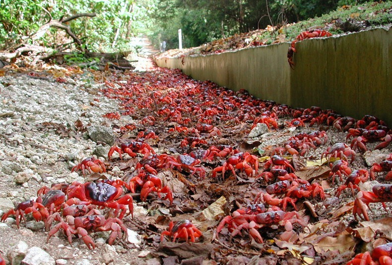 red-crab-migration-4[3]