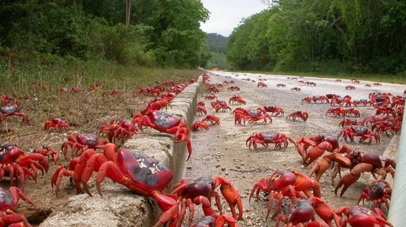 red-crab-migration-5[2]