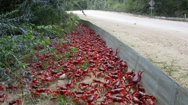 red-crab-migration-8[2]